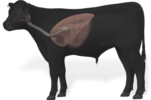 side profile of a cow