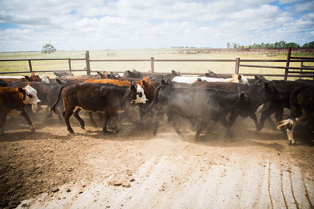 cows in a dusty pen walking right